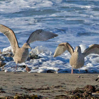 Seagull Photo Nature and Wildlife Photography Fine Art Print Matted 8x10 11x14 5x7