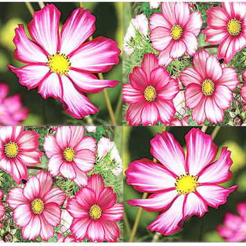 Candy Stripe Cosmos bipinnatus - Cosmos Flower Seeds - PERFECT FOR CUTTING and Floral Arrangement - Pink & White Shade
