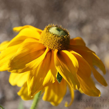 Single Yellow Flower Photo - Rustic Art Photography