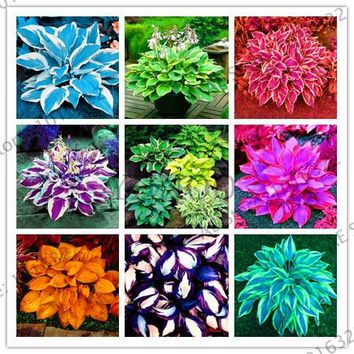 Loss Promotion!Colorful hosta flores Indoor bonsai flower plantas Coleus genus planting potted DIY decor for home garden Perenni