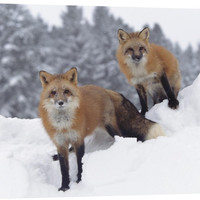 Red Fox Pair in Snow Fall