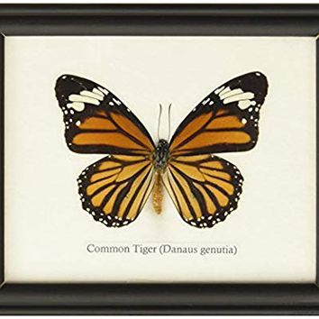 Insectfarm Framed Real Common Tiger Butterfly Collection Display Insect Taxidermy