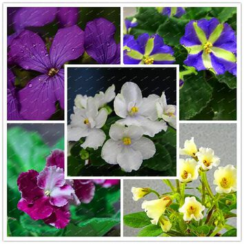 Mixed Colors Available 100 PCS Violet Seeds African Violet Flower Seeds Garden Flowers Potted Plants Perennial Herb EASY TO GROW