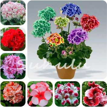 Hot Sale 50 Pcs 100%True Geranium Seeds Potted Balcony Planting Seasons Rare Pelargonium Potted Flower Seeds for Indoor Bonsai