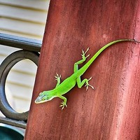 'Green Anole' Photographic Print by RoxanneG