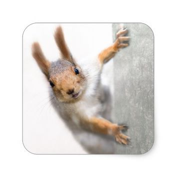 Curious squirrel square sticker