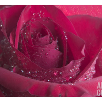Rose 125 Photographic Print by Scott Kuehn at Art.com