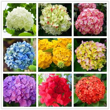 20pcs/bag Hydrangea Flower Seeds mixed color Bonsai Fort Viburnum Hydrangea Macrophylla Bonsai Plant Seeds for home garden