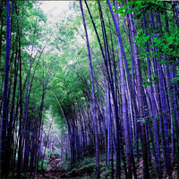 Rare purple Timor Bamboo Seeds Bambusa  black bamboo seeds planted courtyard Yi 100 PCS - package