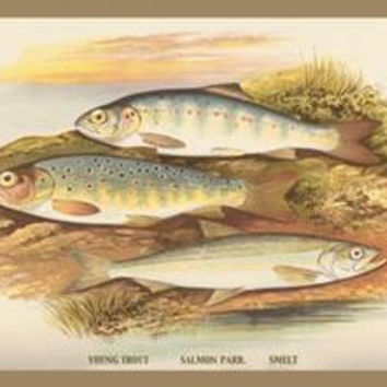 """Young Trout, Salmon Parr. and Smelt: Fine art Giclee canvas print (20"""""""" x 30"""""""")"""
