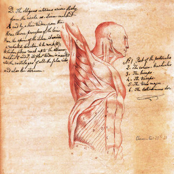 18x24 Vintage Anatomy Torso Muscle sketch with by curiousprints