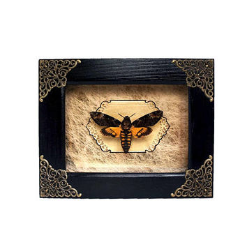Deaths Head Moth Acherontia atropos real moth mounted in shadowbox display gift idea butterfly luna moon wall hanging