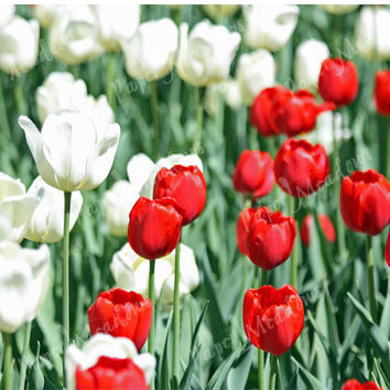 Red and White Tulips, Flowers, Flower Garden, Green, vibrant photo, blooms, photography download, canada day photo