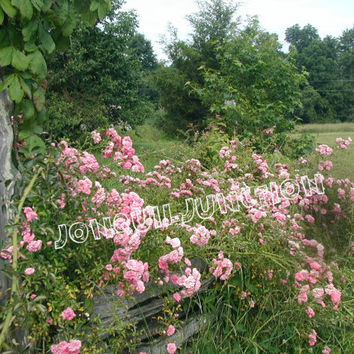 digital download, photograph, rose, antique flowers, rail fence, desktop, print, screensaver, country life collection, seven sisters rose