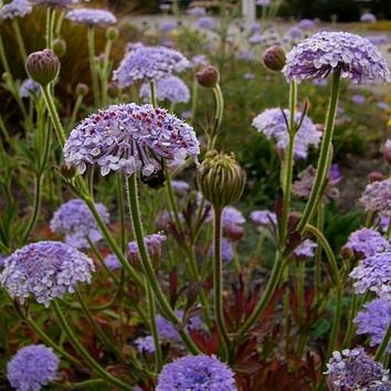 Blue Lace Flower Seeds (Didiscus Caeruleus) 50+ Seeds