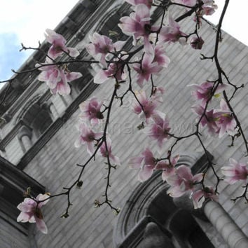 Architectural Photography, St. Louis Church Photo, Cathedral Basilica, Spring Tree Blossoms, Art Print Photograph, Religious, Gray Pink Grey