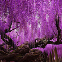 Hot Sale Rare Purple Wisteria Flower Seeds for DIY home garden plants Wisteria sinensis ( Sims ) Sweet seed 15PCS