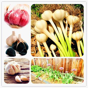 Garlic Seeds Pure Natural And Organic Vegetable Seeds Healthy And Delicious Pungent Spice Vegetable Seeds DIY Plants100Pcs