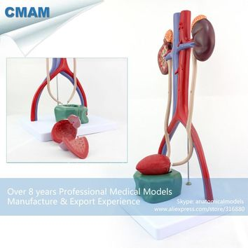 CMAM-UROLOGY05 Medical Science Human Urinary System Model for School Education