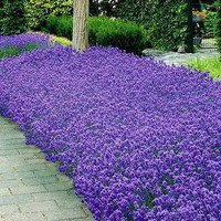 Lavender Munstead Flower Seeds ( Lavandula Angustifolia) 100+Seeds