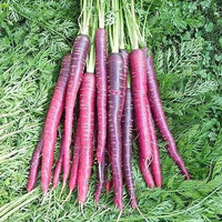 Carrot Purple Haze Vegetable Seeds (Daucus carota) 100+Seeds