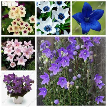 China Medicine Platycodon Seeds Beautiful Blue Balloon Flower Bell Flowers Perennial Bonsai Sementes Mini Jardim 30 Pcs