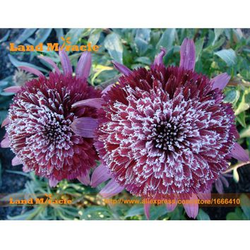Rare 'Snow Purple' Echinacea Flower Plant Coneflower Seeds, 50 Seeds, Rare Garden Flowers Easy Care Plants-Land Miracle