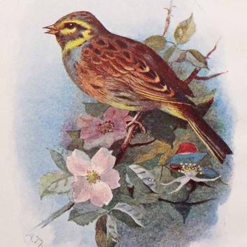 Cirl Bunting Bird Picture, Antique Bird Print, Vintage Bird Illustration, Swaysland, Familiar Wild Birds