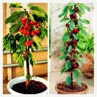 20pcs/pack cherry seeds,japanese cherry seeds,vegetable fruit seeds,plant cherry seeds bonsai plant for home garden