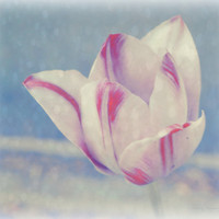 Winter White Tulip, Digital Art Print, Home Decor, Ready to Frame Photo, Wall Hanging, Floral Photograph, Surreal, Pale Blue, Pink, Nebraska