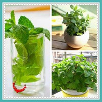 100 /bag PEPPERMINT seeds, mint seed superior for herbal tea, has radioprotective effects