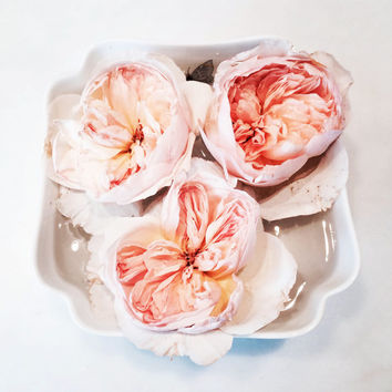 Roses | Botanical Photography | Wall Art | Still Life Photography | Home Decor | Fine Art Photography | Pink | White | Flowers