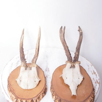 Antique Mounted Deer Antlers