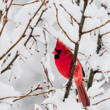 Bird Photo Cardinal 5x7 Fine Art Photographic Print nature red cardinal white holiday whimsical romantic seasonal home decor