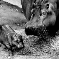 baby hippo Art Print Promoters