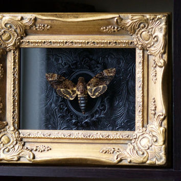 Death's Head Moth - Museum Glass Shadow Frame Display - Insect Bug Oddity Curiosity Art