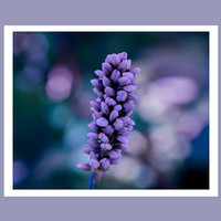 Flower bud photography, purple flower print, fine art photo, flower art, floral photo, flower photo print