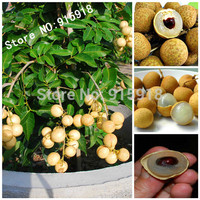 Fruit bonsai 5pcs RARE Dwarf Longan Sri Chompoo aka Dragon Eye Exotic Fruit Seeds in container