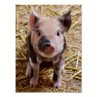Cute Baby Piglet Farm Animals Barnyard Babies