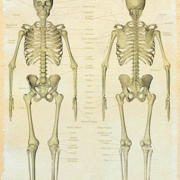 Human Skeleton Bones Anatomy Education Poster 24x36