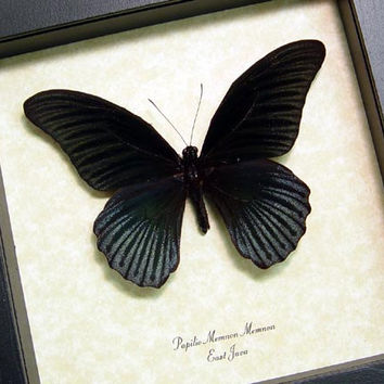 Butterfly Insect Papilio Memnon  Real Framed Male Butterfly 8046