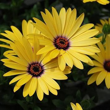African Daisy Yellow Flower Seeds (Dimorphotheca Sinuata) 50+Seeds Zones:3-10