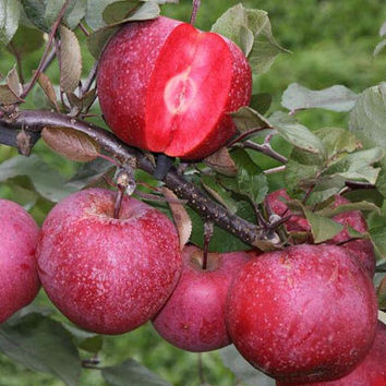 10 Redlove Apple Seeds Red Love Tasty Delicious Fruit Tree Garden Home Plant Interesting Decor DIY Grow