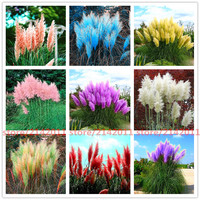 Pampas grass seed Cortaderia Selloana 400 seeds per bag approximately.  Many variations of color.
