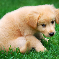 Fuzzy Golden Puppy