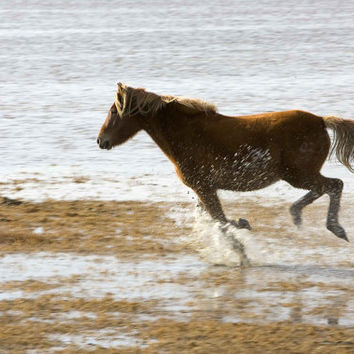 Wild Horse Running in a Horse Sanctuary Refuge-   Photograph Print -Photo  Print Reproduction