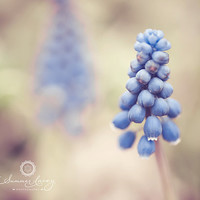 Baby Blue - 10x10 Fine Art Print - Grape Hyacinth Michigan Spring Flower - Original Wall Art