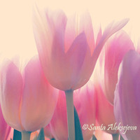 Tulip photography  - Fine Art Photography - 8x8 print - tulips - flower photography - spring decor - floral art print - pastel photography