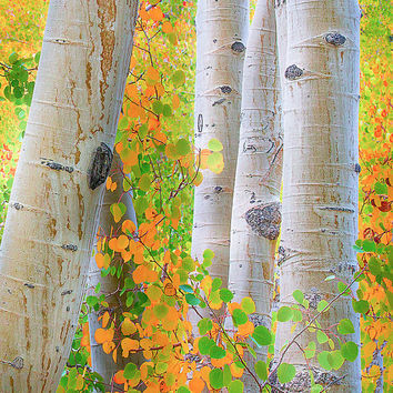 Large Fall Print, Aspen Grove Print, Fall Wall Art, Large Canvas, Sierra Nevada Photo, Fine Art, Canvas Gallery Wrap, Limited Edition Print