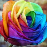 Rainbow Sorbet Rose Bush Flower
